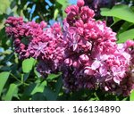 Common Lilac  Syringa Vulgaris...