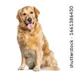 Panting Golden Retriever Dog...