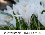 White Crocuses Growing On The...