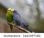 Budgerigars Sit On The Tree...