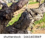 closeup view of vine trunk. old ... | Shutterstock . vector #1661603869