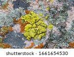 Bright Cobblestone Lichen (Acarospora socialis) a bright neon yellow green crustose lichen surrounded by other orange, teal, brown and gray lichens.