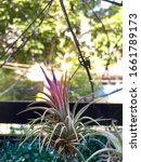 Small photo of Tillandsia also commonly known as airplants because of their natural propensity to cling.They normally hang in the air , grow without soils