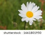 Picture Of Oxeye Daisy Herb....