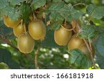 Small photo of Kiwifruit, Actinidia deliciosa, New Zealand
