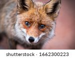 Cute Red Fox  Vulpes Vulpes ...