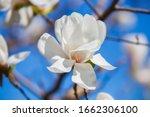 Large Delicate White Magnolia...