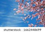 Pink Almond Tree Blossom...