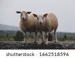 Two sheep standing next to a road and looking at the camera