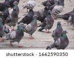 A Lot Of Grey Pigeons Walk On...