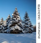 Conifer Trees Covered With Sno...