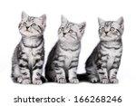 Stock photo british short hair kitten isolated 166268246