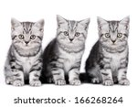 Stock photo british short hair kitten isolated 166268264