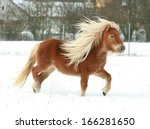 Gorgeous Shetland Pony With...