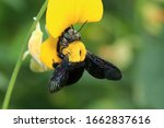 Carpenter Bees Feed On Pollen...