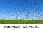 Swarm Of Locust Over Field. 3d...