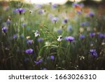 Cornflowers And Green Grass In...