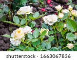 light cream pink rose flower... | Shutterstock . vector #1663067836