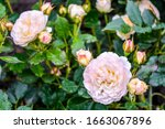 light cream pink rose flower.... | Shutterstock . vector #1663067896