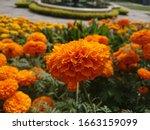 Marigold Flower In A Garden