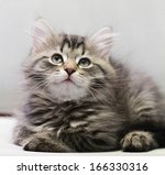 Stock photo brown kitten of siberian breed at two months 166330316