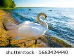 White swan onlake shore. swan...