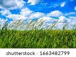 Summer high grass scene. Grassland nature in summer