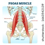 Psoas Muscle Medical Vector...
