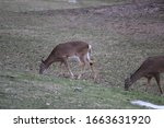 Small photo of Grazing deer at Mendon Ponds Park