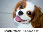 Stock photo portrait of blenheim king charles spaniel 166365449