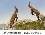 Alpine Ibex   Capra Ibex...