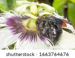 Pollination Of Passion Fruit I...