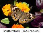 Common Buckeye Butterfly On...