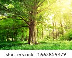 Beech Forest With A Old Tree I...