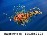 A Beautiful Predatory Pterois...