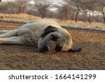 Livestock Guardian Dog Napping...