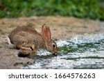 Rabbit Drinking Water On The...