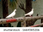 Image Of A Two White Pigeon An...