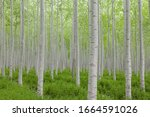Poplar Tree Plantation  Tree...