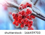 Frost Covered Berries In The...