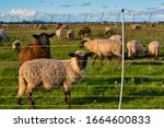 Sheep Behind An Electric Fence