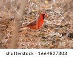 Red Cardinal Male Eating Seeds...