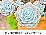 House Leek Succulent