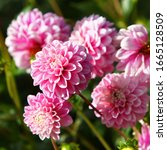 Beautiful Dahlia Flowers In...