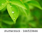 Green Leaf With Water Drops ...