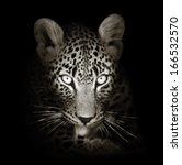 leopard face close up in black... | Shutterstock . vector #166532570