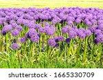 Violet Allium Globemaster Gian...