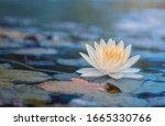 Beautiful  Thai Lotus That Has...