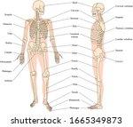 bones of the skeleton  anterior ... | Shutterstock .eps vector #1665349873