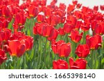 Bright Red Tulips Of The ...